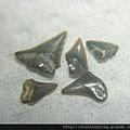 s10816_鯊魚牙化石.jpg