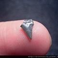 s10824_鯊魚牙化石.jpg