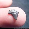 s10825_鯊魚牙化石.jpg