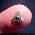 s10831_鯊魚牙化石.jpg