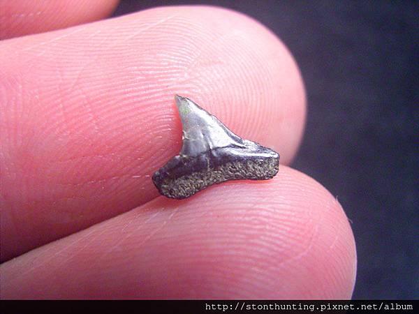 s10835_鯊魚牙化石.jpg
