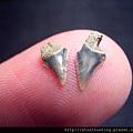 s10836_鯊魚牙化石.jpg