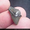 s10844_鯊魚牙化石.jpg