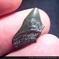 s10847_鯊魚牙化石.jpg