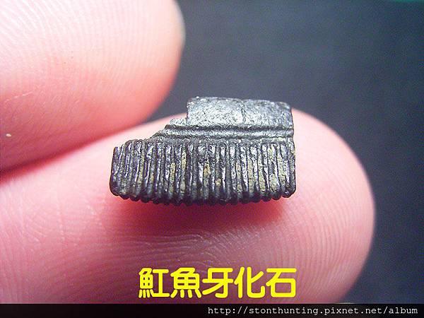 s10853_魟魚牙化石.jpg