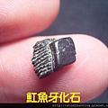 s10854_魟魚牙化石.jpg