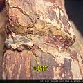 大溪木化G15552.jpg
