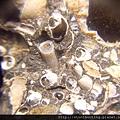 台南關仔嶺化石G17802.jpg
