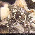台南關仔嶺化石G17803.jpg