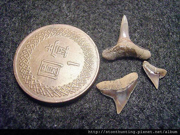 牛埔-鯊魚牙化石G18714.jpg