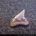 牛埔-鯊魚牙化石G18721.jpg