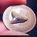 牛埔-鯊魚牙化石G18727.jpg