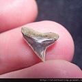 牛埔-鯊魚牙化石G18728.jpg