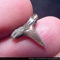 牛埔-鯊魚牙化石G18734.jpg