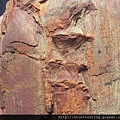 三民植物化石G20867.jpg