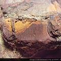 三民植物化石G20870.jpg