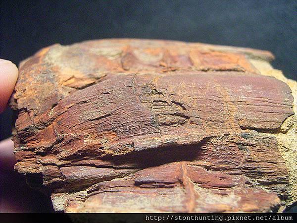 三民植物化石G20871.jpg