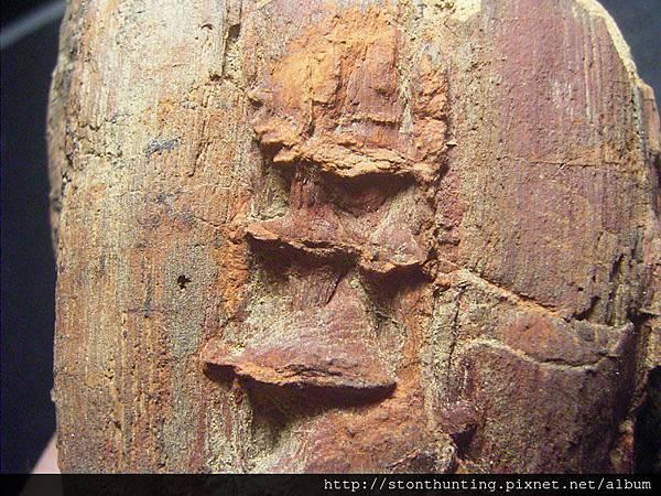 三民植物化石G20872.jpg