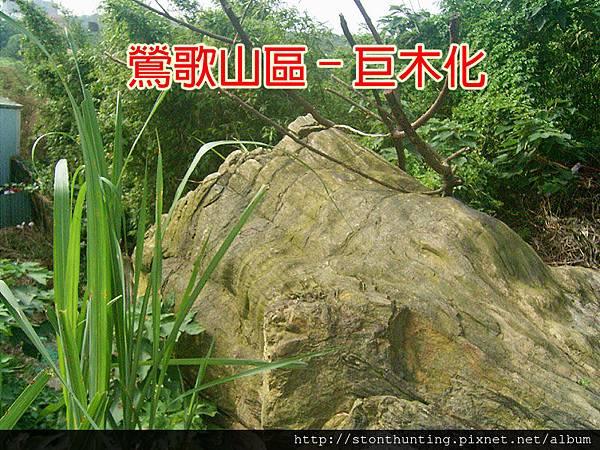 鶯歌巨木化G13186.jpg
