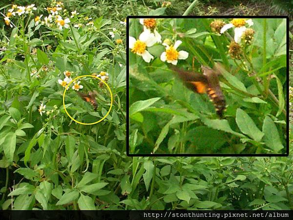 長喙天蛾(Macroglossum)G24187.jpg