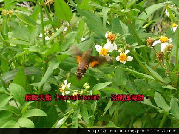 長喙天蛾(Macroglossum)G24188-b.jpg