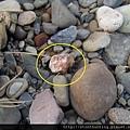 三峽河G25084_木化石.jpg