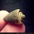 大漢溪螺化石G25838.jpg