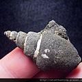 大漢溪螺化石G25849.jpg