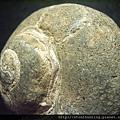 大漢溪螺化石G25874.jpg