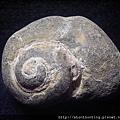 大漢溪螺化石G25876.jpg