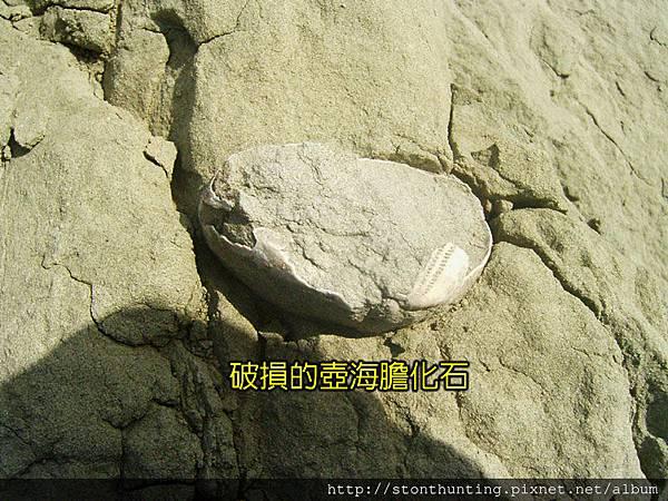 採集G28173_海膽化石.jpg