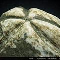 壺海膽化石G28300.jpg
