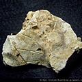 新店-植物化石G28338.jpg
