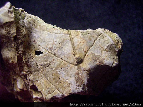 新店-植物化石G28340.jpg