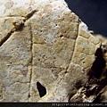 新店-植物化石G28343.jpg