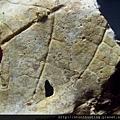 新店-植物化石G28344.jpg