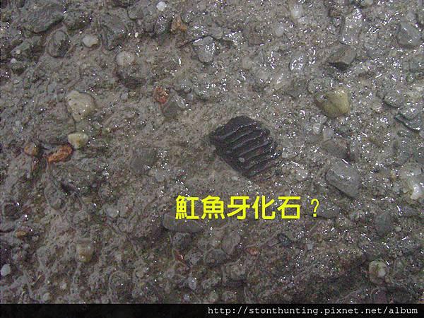 03大漢溪魚牙化石G30693.jpg