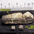 02大漢溪_魚牙化石G31337_02.jpg