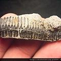 07大漢溪_燕魟魚牙化石G31342.jpg