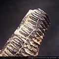 08大漢溪_燕魟魚牙化石G31345.jpg