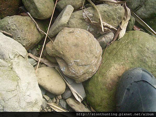 三峽-扇貝化石G31064.jpg
