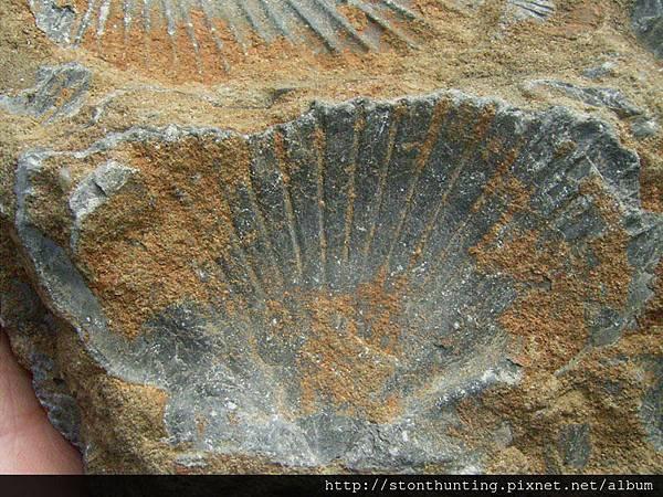 三峽-扇貝化石G31068.jpg