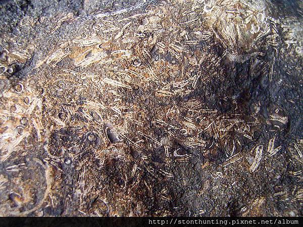 三峽-管蟲化石G31096.jpg