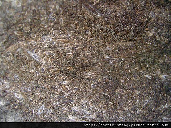 三峽-管蟲化石G31106.jpg