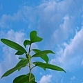 小樹與藍天(合成)