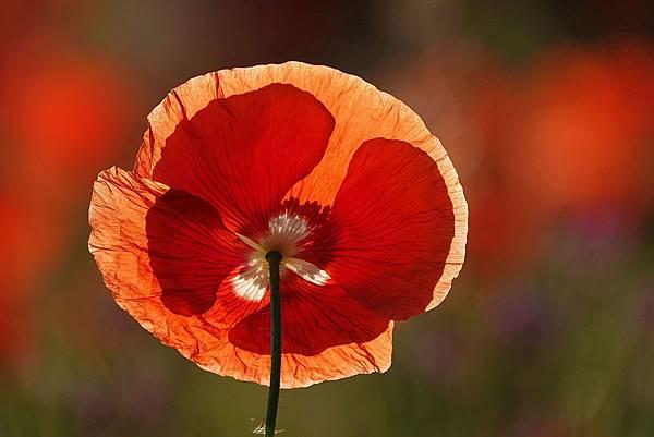 poppy-6473530_1920.jpg