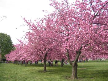 Brooklyn Cherry Blossom 1