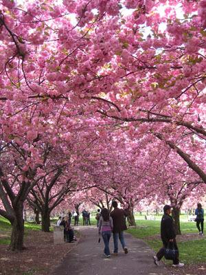 Brooklyn Cherry Blossom 2