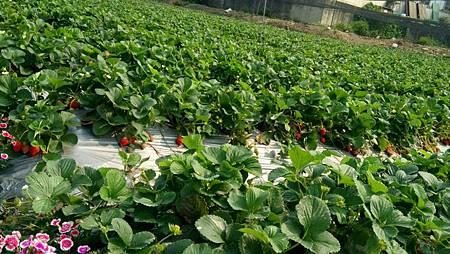 105.3.30 草莓園2.jpg