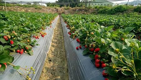105.3.30 草莓園1.jpg